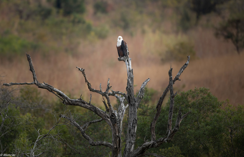 Fish Eagle 2.jpg