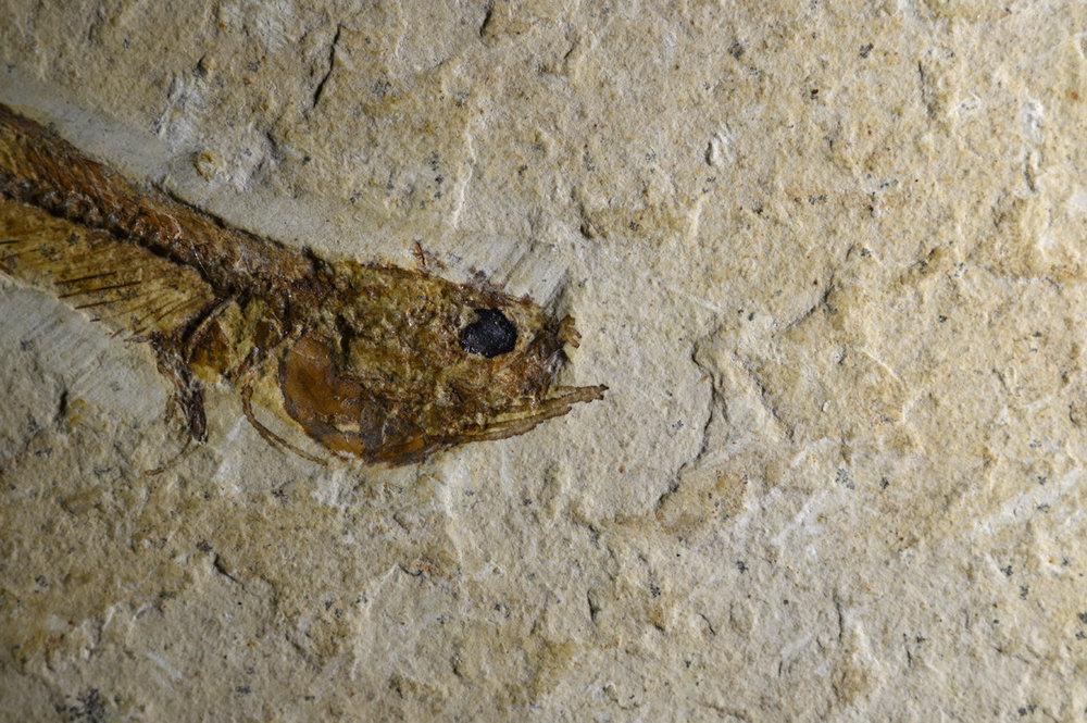fossilfish1w.thumb.jpg.c514633e0692b0db992412b6f5efc76d.jpg
