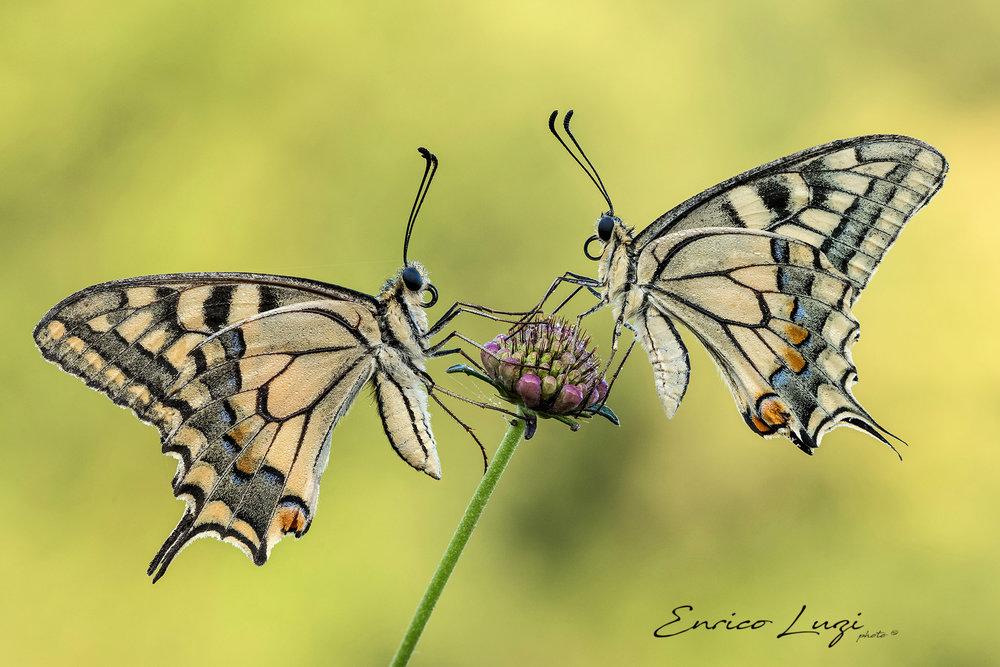 Papilio Machaon (Linnaeus, 1758) (3).jpg