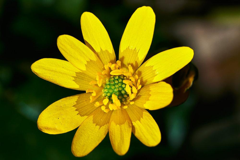 Ranunculus-ficaria_10.jpg