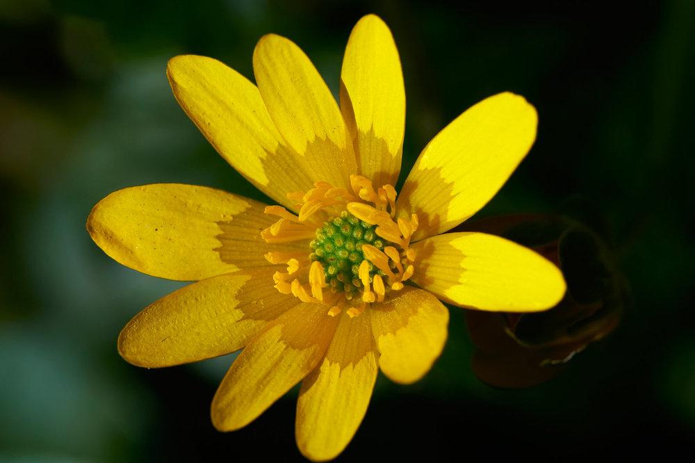 Ranunculus-ficaria_11.jpg