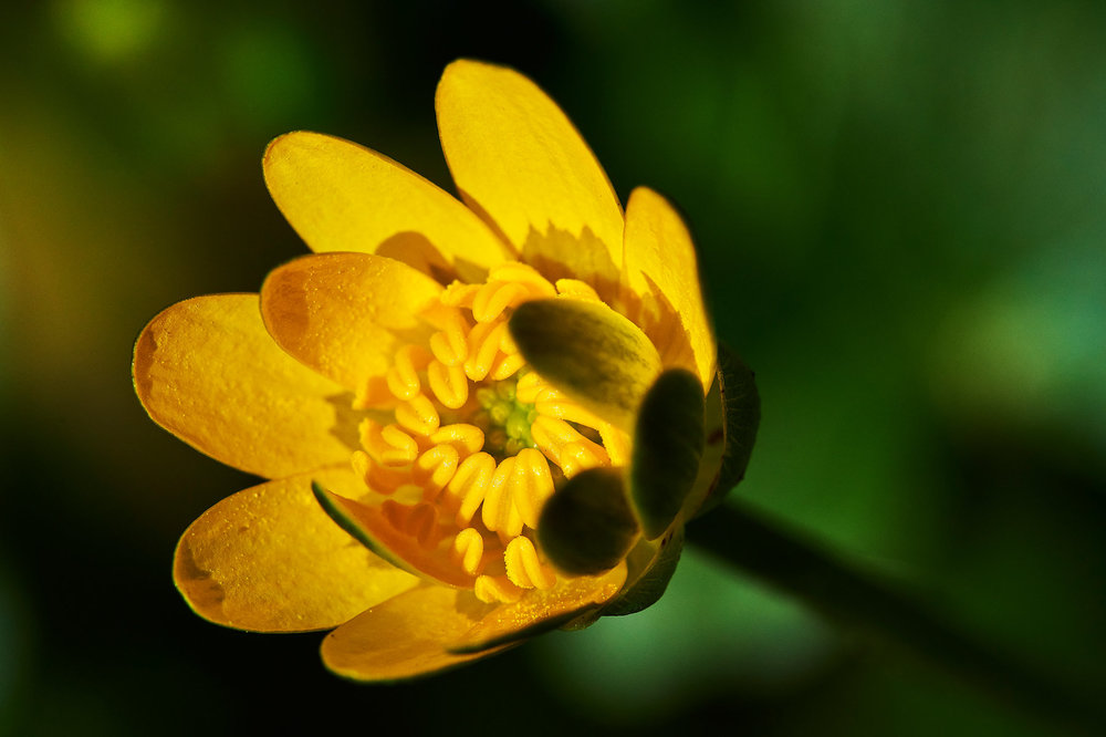 Ranunculus-ficaria_13.jpg