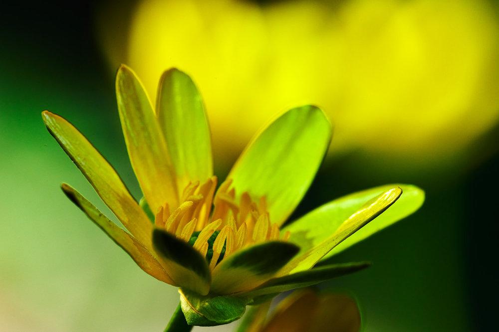 Ranunculus-ficaria_3.jpg