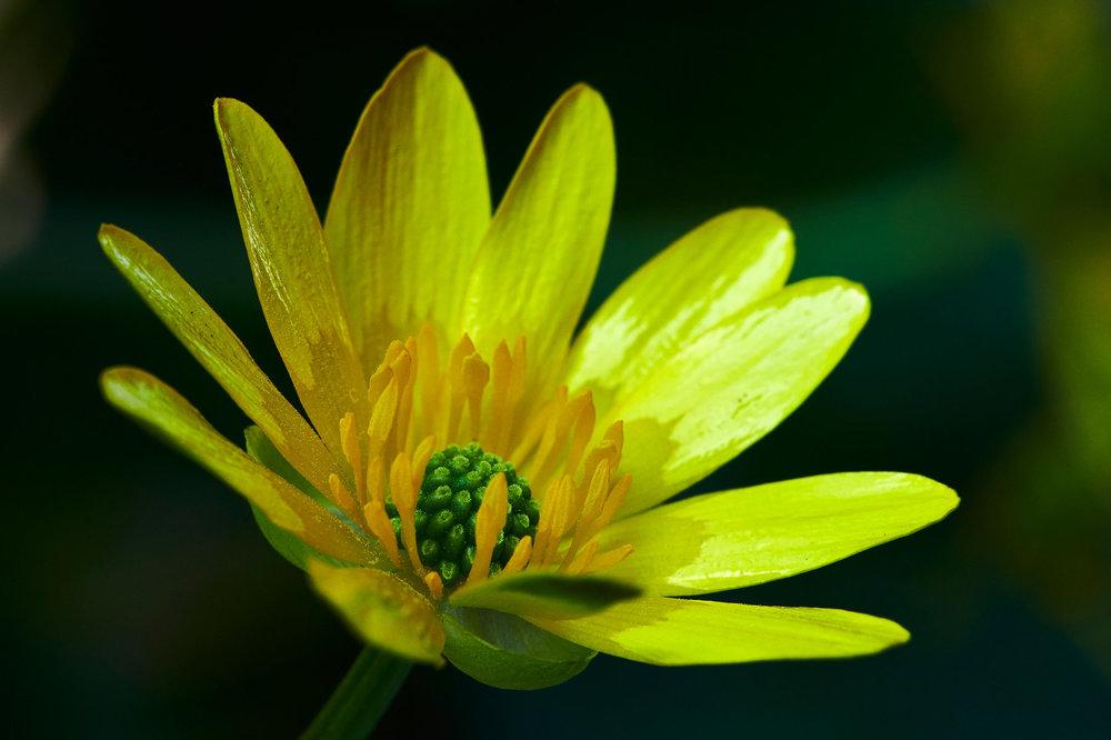 Ranunculus-ficaria_4.jpg