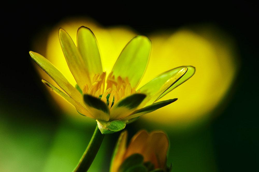 Ranunculus-ficaria_6.jpg