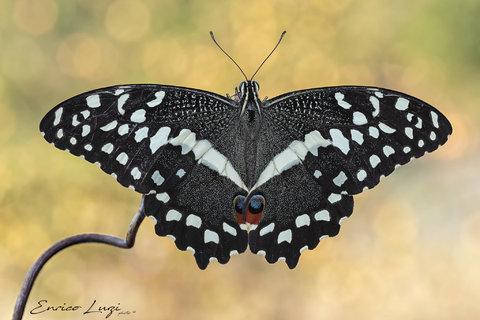 Papilio demodocus - Citrus butterfly o Christmas butterfly (Esper, 1798)1.jpg