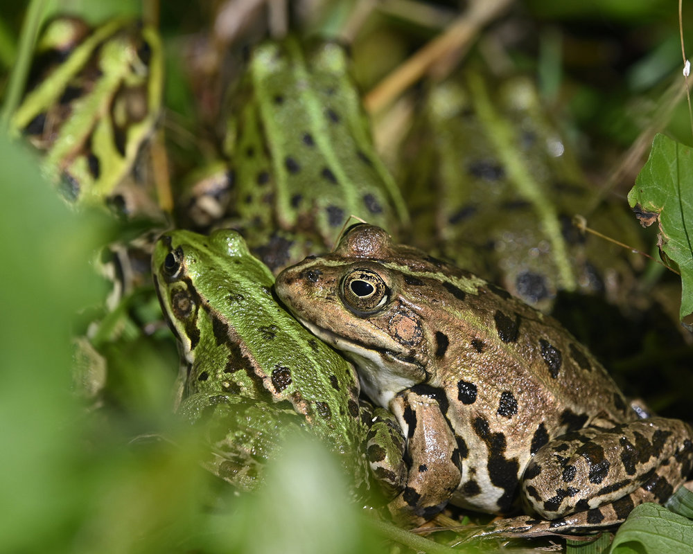 frogs.thumb.jpg.8590146e8467d72308671347f0bfdb84.jpg