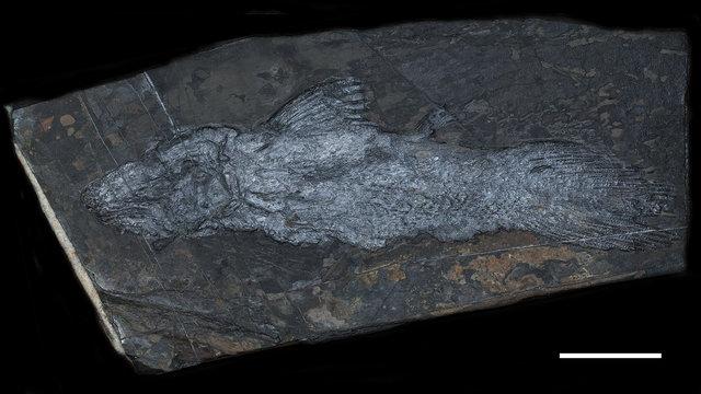 Heptanema-paradoxum-holotype-specimen-SMF-P1242-Scale-bar-equals-50-mm_W640.jpg.17151b1cf89d4b592aad48546640e04a.jpg