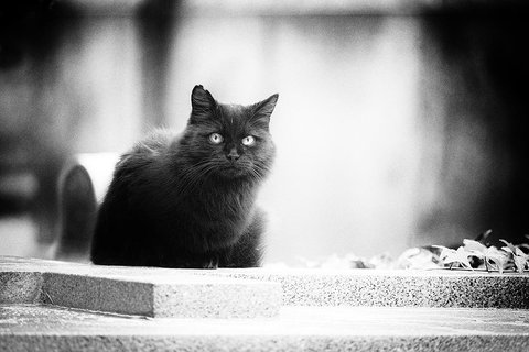 Kuro neko (Gatto nero)
