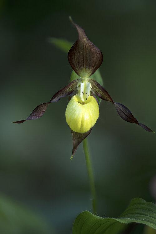 Cypripedium calceolus.jpg