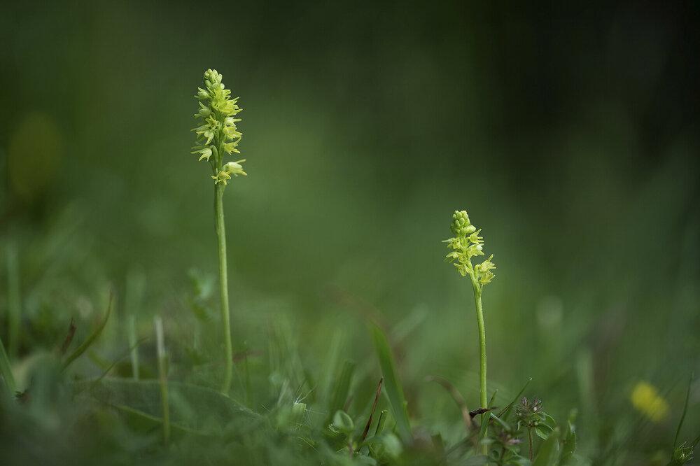 Herminium monorchis.jpg