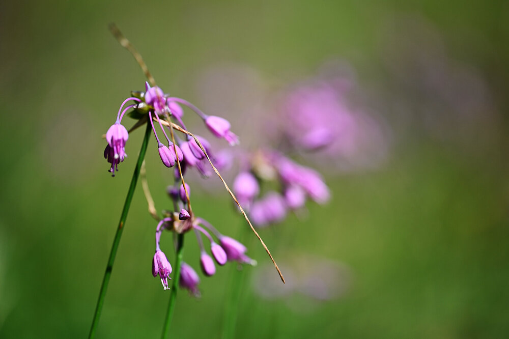 Allium carinatum.jpg