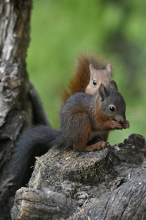 scoiattoliduoblo.thumb.jpg.4f3d3b374e94b60f374c7aa975e76acd.jpg
