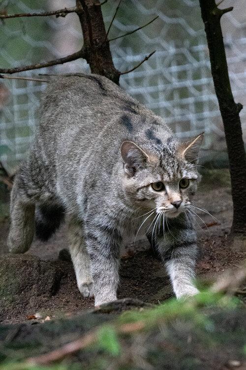 wildcat.thumb.jpg.8a501ae72f88d599bebaea5cc52bbde6.jpg